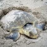 Loggerhead turtle - nesting