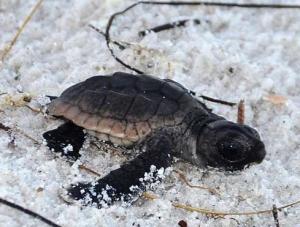 Sanibel Island Baby Turtle 1