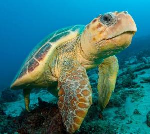 Sanibel Island Baby Turtle 2